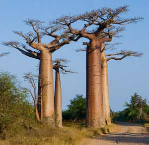 Since the childhood many times it was necessary to hear the name of a miracle-tree baobab which grows somewhere in Africa
