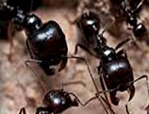 Ants - the most evolutionarily advanced family of insects in terms of ethology, ecology and physiology