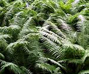 Who did not dream to go to Ivanov night in the forest, where ferns grow and find a break-grass - a fiery flower of a fern